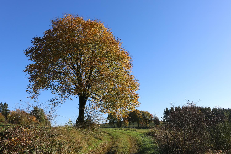 Baum nahe Birkenhahn / Schliprüthen - Serkenrode